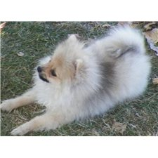 View full profile for RCE ROYAL POMS