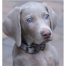 View full profile for Weimaraners