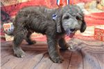 Bedlington Terriers for sale