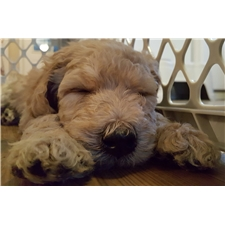 View full profile for Mikkiana's Labradoodle