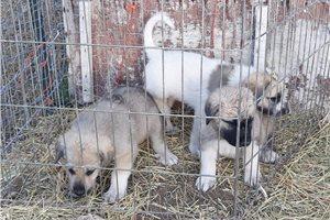 Anatolian Shepherds for sale