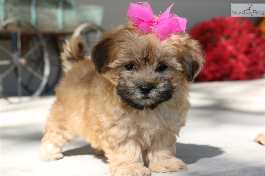 Morkie puppies for sale near joplin mo