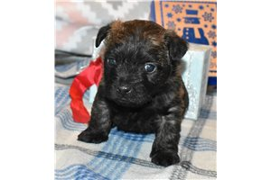 hayden | Puppy at 5 weeks of age for sale