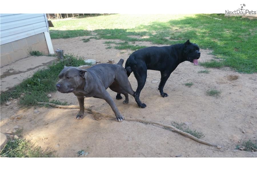 Diamond Cane Corso Mastiff Puppy For Sale Near Baltimore Maryland 13774331 1c11