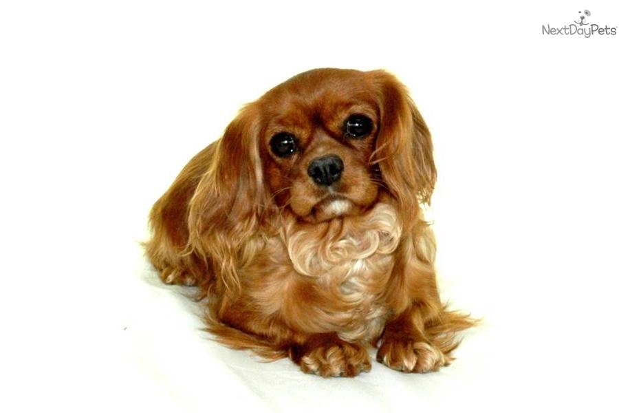 Cavalier King Charles Spaniel Puppy For Adoption Near