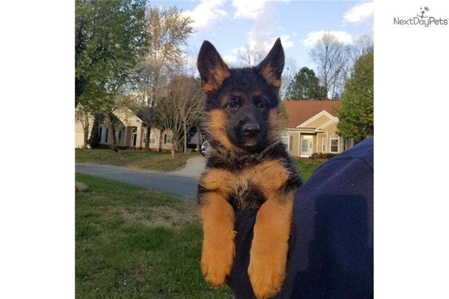German Shepherd Puppy For Sale Near Nashville Tennessee