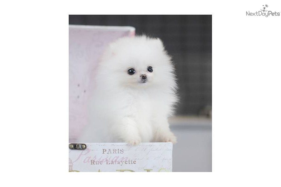 white pomeranian puppies price white teacup pomeranian price 9639