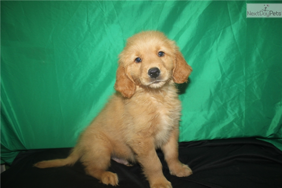 Golden Retriever Puppy For Sale Near Houston Texas 399a6d69 4f91