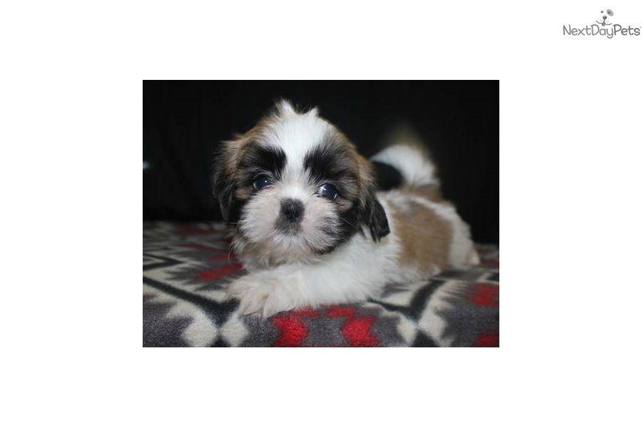 Shih Tzu Puppy For Sale Near Houston Texas 2099f041 Cae1