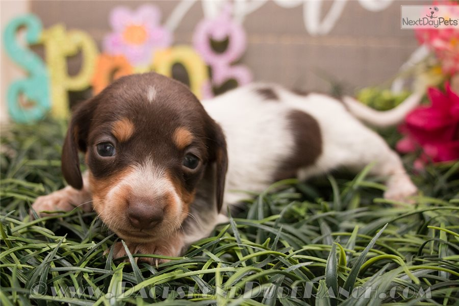 Hershey: Dachshund, Mini puppy for sale near San Antonio, Texas | 82490b04-a721