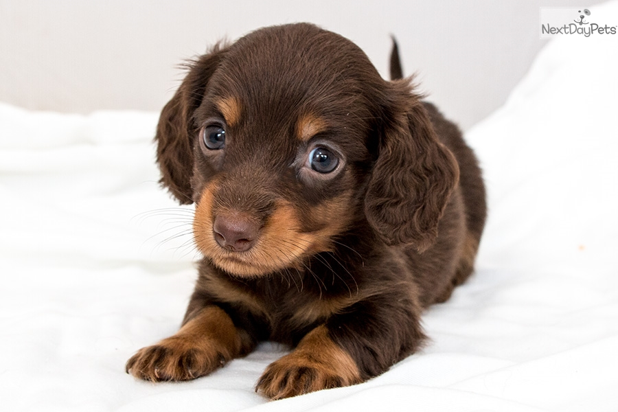 Merv Dachshund Wire Puppy For Sale Near San Antonio Texas