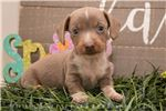 Picture of Sergio - Isabella/tan piebald male WIREHAIR
