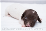 Picture of Tawni - Solid chocolate piebald female SHORTHAIR