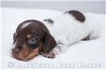 Picture of Calvin - Chocolate/tan piebald male SHORTHAIR