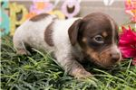 Picture of Mars - Chocolate/tan piebald male SHORTHAIR