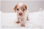 Picture of Daisy - Red piebald female SHORTHAIR