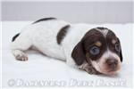 Picture of Conner - Chocolate/tan piebald male SHORTHAIR