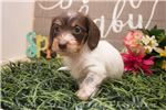 Picture of Chester - Chocolate/tan piebald male WIREHAIR