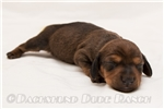 Picture of Peter - Red male WIREHAIR