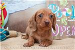 Picture of Ally - Red dapple female WIREHAIR