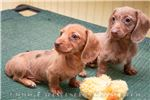 Picture of Amy - Isabella based red female WIREHAIR