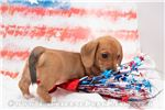 Picture of Paisley - Red piebald female WIREHAIR