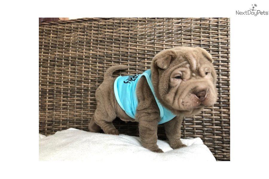 Wonton Chinese Shar Pei Puppy For Sale Near Charlotte North