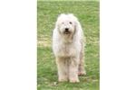 Picture of a Komondor Puppy