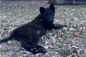 Belgian Shepherd Malinois for sale