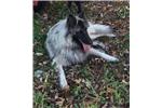 Picture of a Belgian Shepherd Tervuren  Puppy