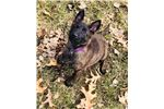 Picture of Beautiful Dutch Shepherd girl ready to go home