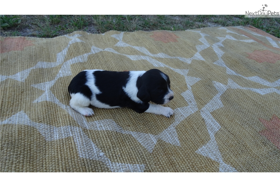 Kona: English Springer Spaniel puppy for sale near Central