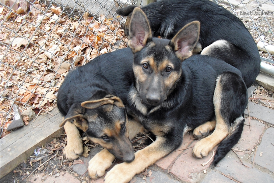 German Shepherd Puppy For Sale Near Des Moines Iowa Fb30a139 7281