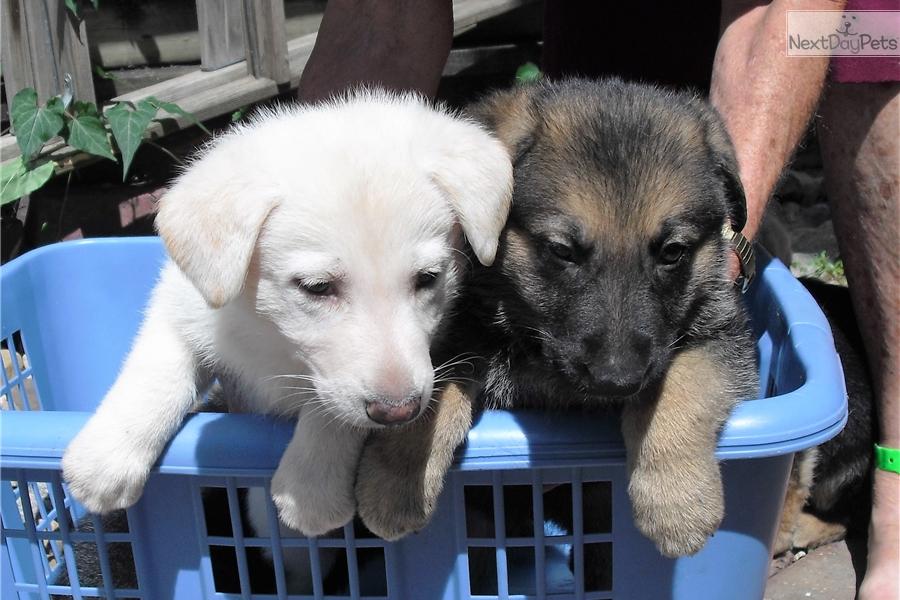 German Shepherd Puppy For Sale Near Des Moines Iowa 48c49f41 8d91