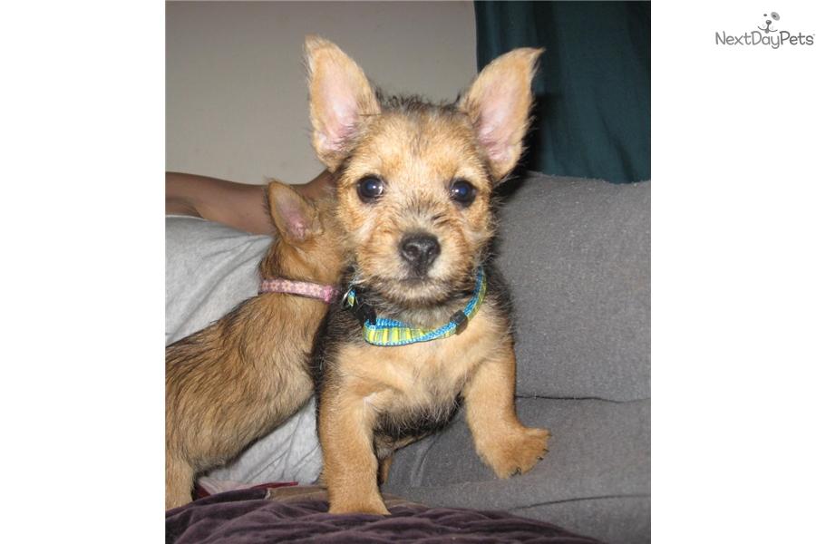 Zephyer: Norwich Terrier puppy for sale near Greenville ...