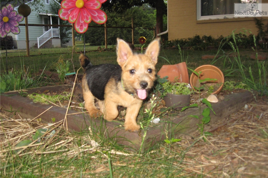 Norwich Terrier puppy for sale near Greenville / Upstate ...