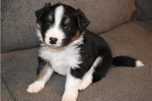 Picture of an Appenzell Mountain Dog Puppy