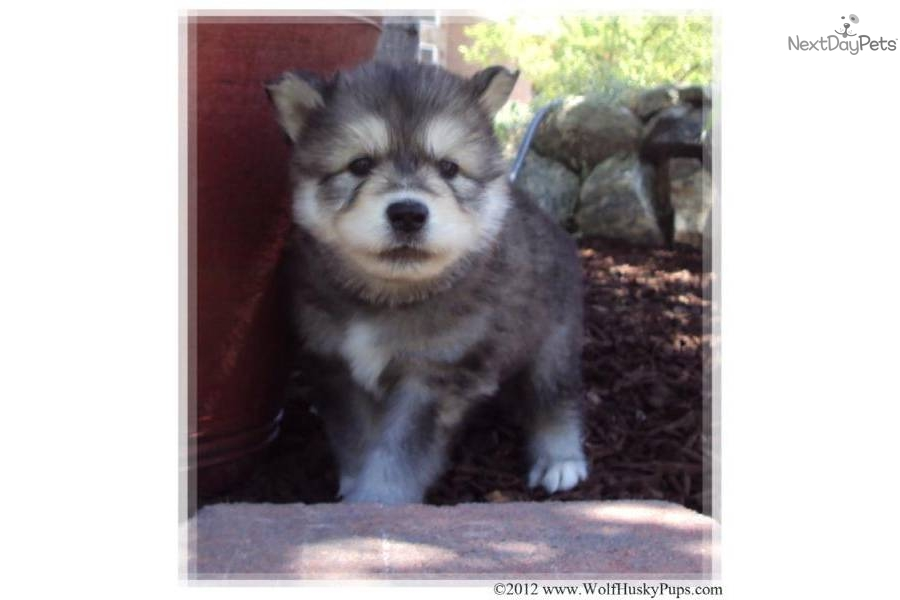 Images of Wolamute Puppies - #rock-cafe