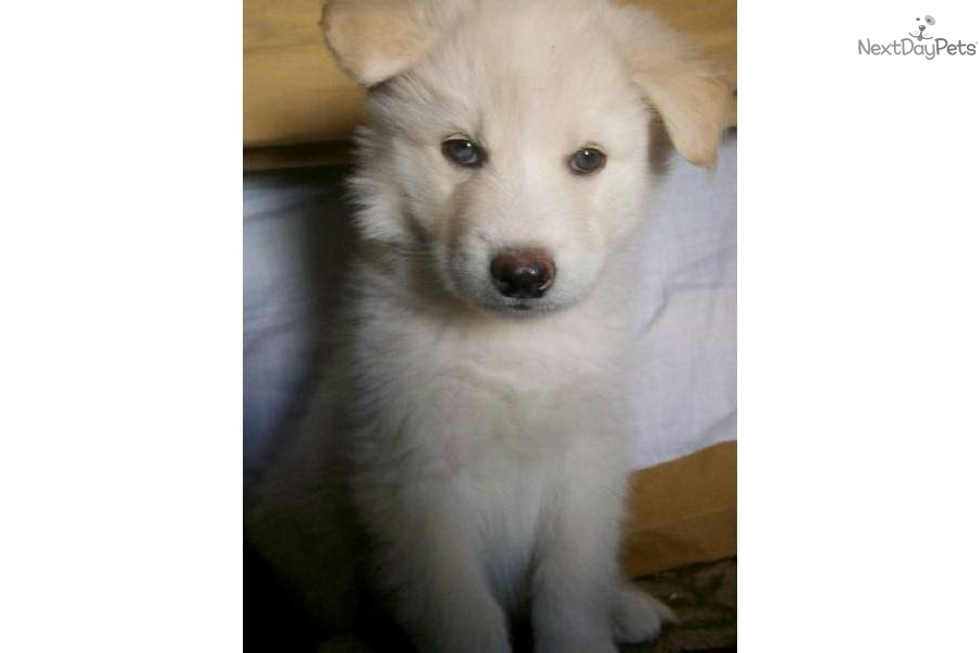 Meet Cupid A Cute Wolf Hybrid Puppy For Sale For 1 000