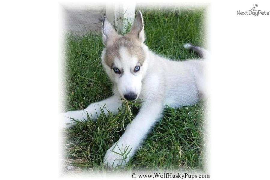 Dakota: Wolf Hybrid puppy for sale near Tampa Bay Area