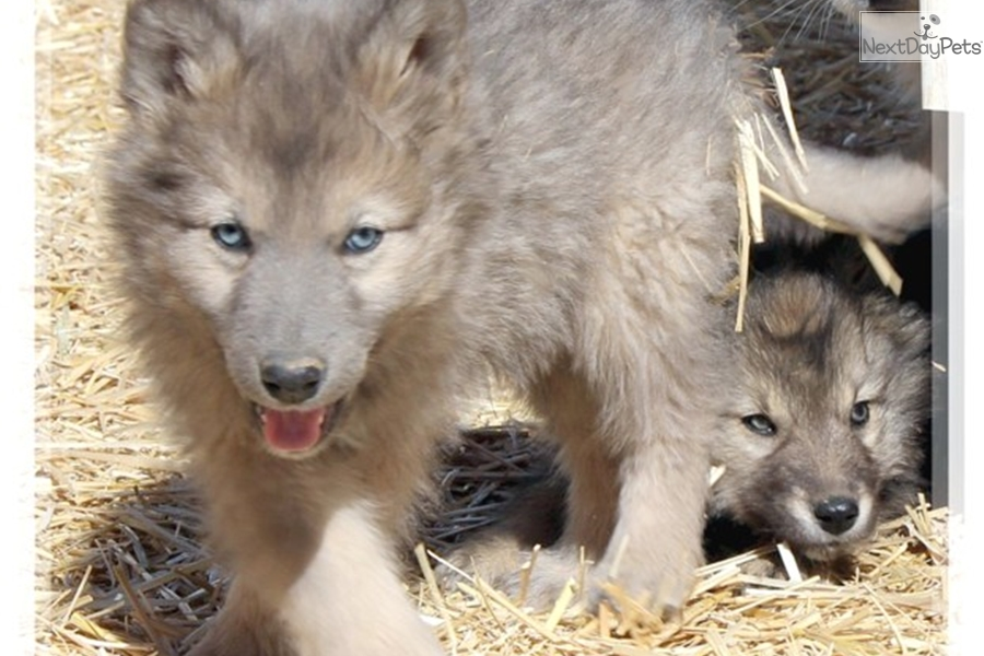 Half Wolf Half Dog Puppies For Sale