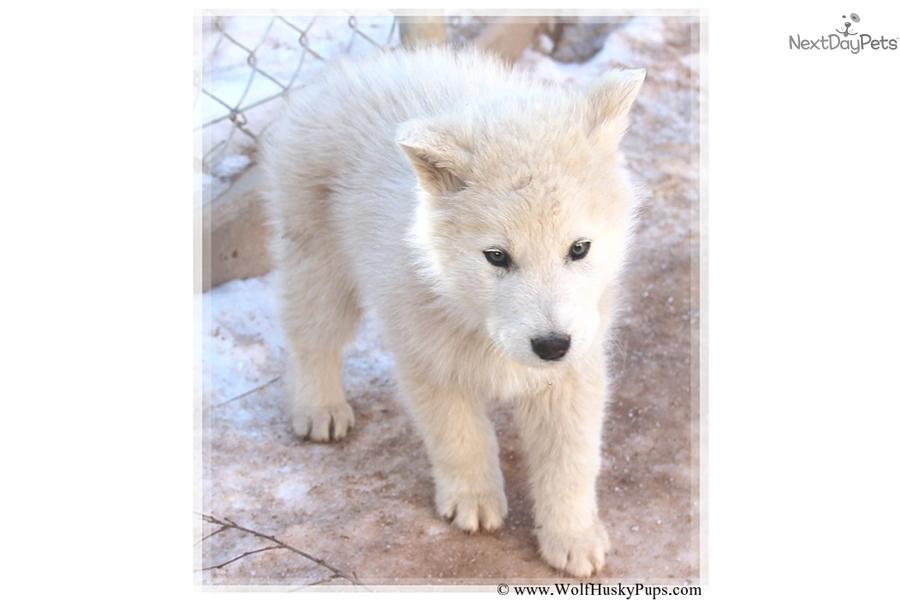 crate training wolf hybrid | Dog Training Indise