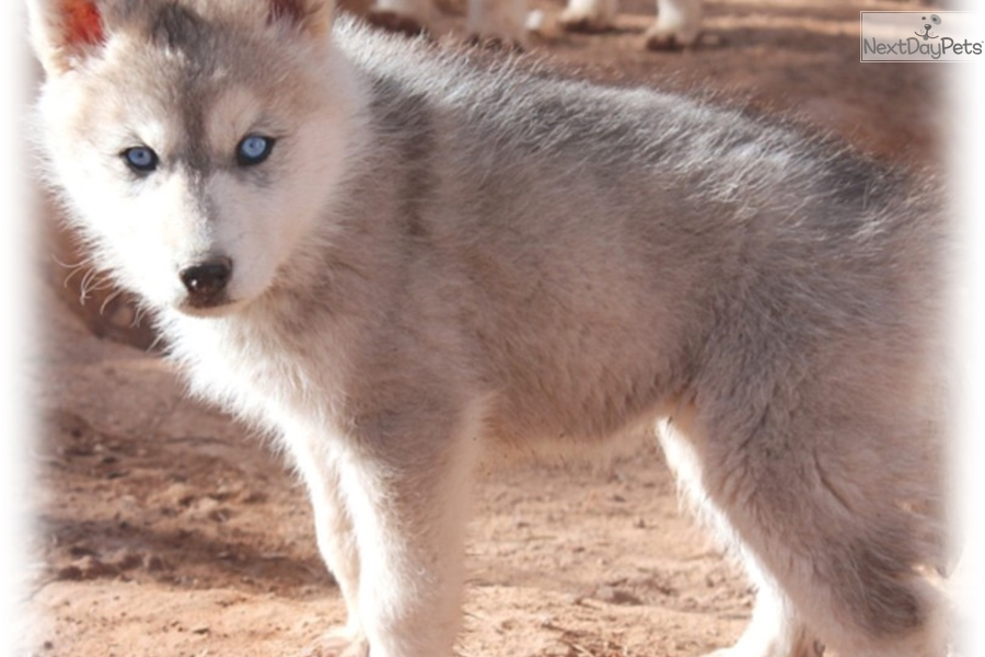Blue Eyes Wolf Hybrid Puppy For Sale Near Las Vegas Nevada