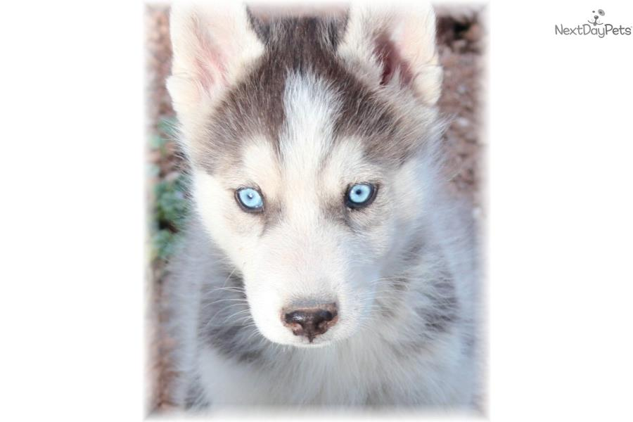 Hybrid wolf husky puppies