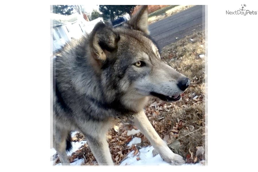Images of Wolf Dog Puppies Ohio - #rock-cafe