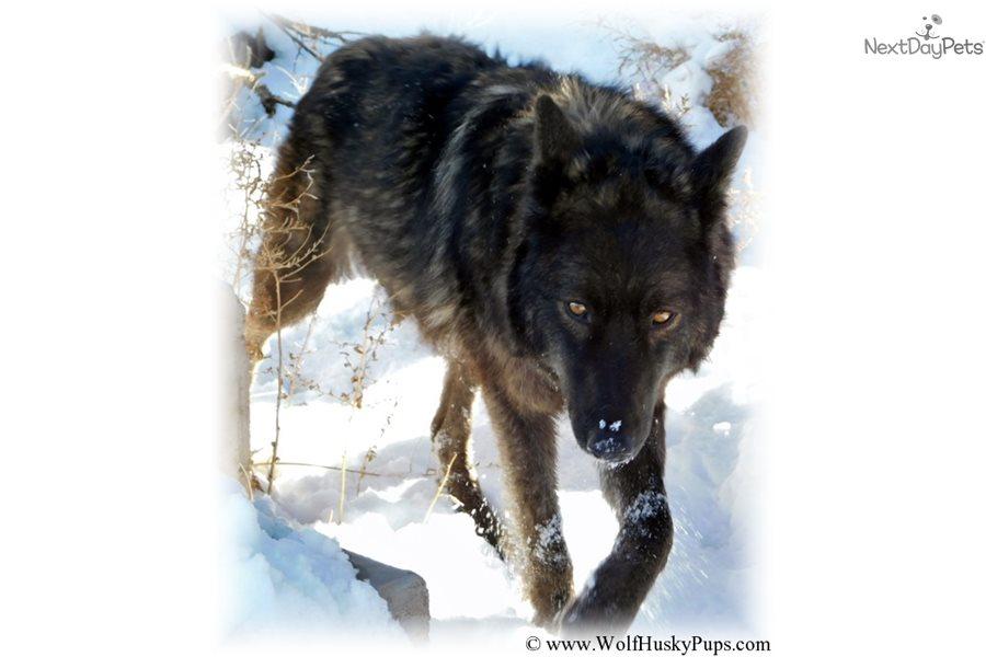 Demon: Wolf Hybrid puppy for sale near Las Vegas, Nevada | 5d543b90-d7b1