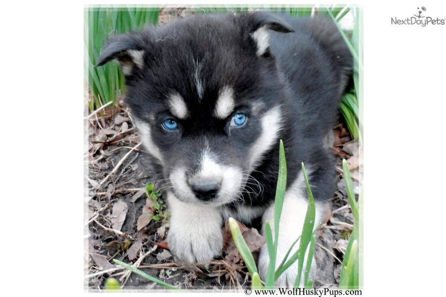 Wolf Dog Hybrid Puppies With Blue Eyes