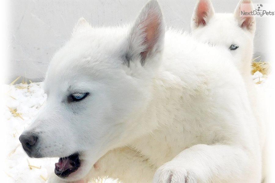 Storm Wolf Hybrid Puppy For Sale Near Las Vegas Nevada 525b4f8b Ae91
