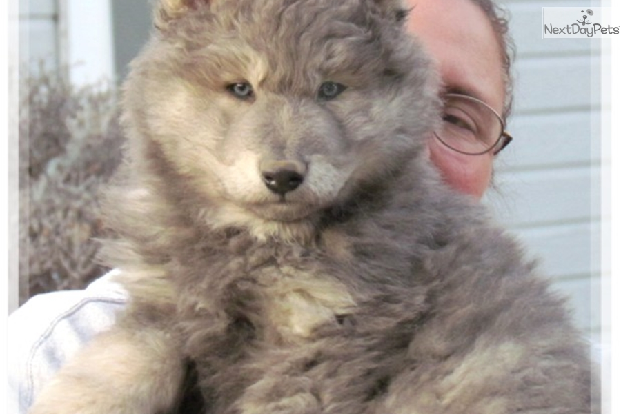 Wolf Dogs: Wolf Hybrid puppy for sale near Las Vegas, Nevada