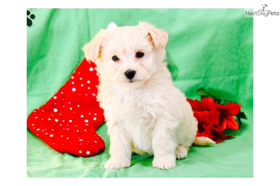 Snow Ball Havanese Puppy For Sale Near San Antonio Texas